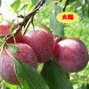 果実 スモモ