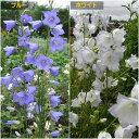 初夏の切花として重宝する桃葉キキョウ【カンパニュラ属】桃葉ききょう 3.5号鉢