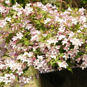 低木だから扱いやすくかわいらしいピンク色の花を多数咲かせます。【コルクウィッチア属】アマ...