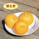 【ハイブリット系柑橘ミカン属】せとか(接木苗)4号LLポット