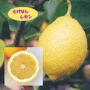 【ミカン属】とげなしレモン(二年生接木苗)4号LLポット
