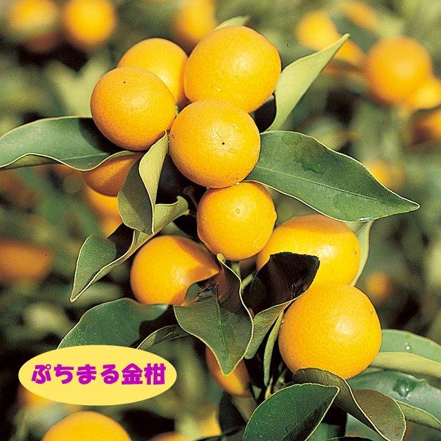 苗物, 果物の苗物 4LL