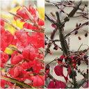 ロマンチックな紅葉樹!錦木(ニシキギ)の苗木!【錦木(ニシキギ)の苗木】 7号