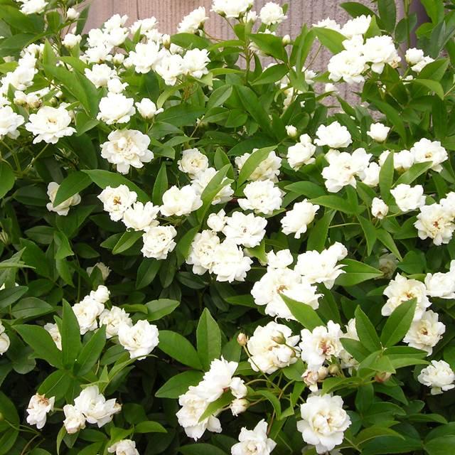 【バラ属】モッコウバラ八重咲きホワイト3.5号ポット苗