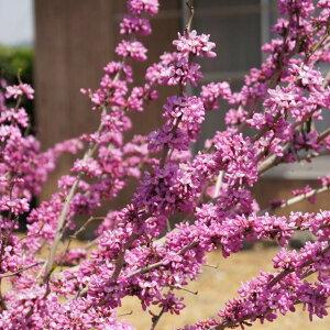 枝にびっしり花を咲かせるハナズオウ【ハナズオウ属】ハナズオウ紫 6号L鉢