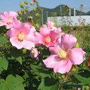 夏のシンボルツリーとして人気のフヨウ!丈夫だから毎年開花してくれます。【フヨウ属】ピンク...