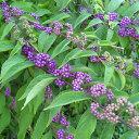 【ムラサキシキブ属】紫式部緑葉紫実 4号ポット