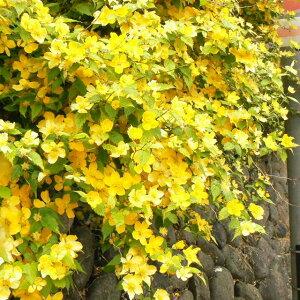 春の訪れを伝えてくれる!【ヤマブキ】一重咲きヤマブキ 黄花 3.5号鉢(庭植え、コンテナ用)