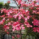 秋のガーデニングSALE15%off春の花、秋の紅葉と1年に2度楽しめる!【ハナミズキ属】ハナミズキ...