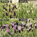【ラバンデュラ属】ラベンダーフレンチコレクション3.5号ポット
