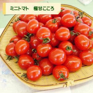 【ミニトマト自根苗】極甘!こころ3号ポット
