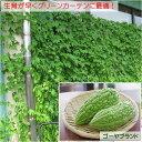 グリーンカーテンに最適!成長が早く栽培がしやすいゴーヤ緑のカーテン・グリーンカーテン【農...
