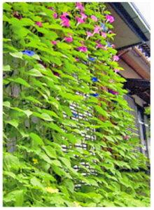 第一ビニール 緑のカーテン(グリーンカーテン)幅80cm [立掛けタイプ] 【緑のカーテン グリーンカーテン 支柱 よしず すだれ 緑 日よけ】【おしゃれ おすすめ】 [CB99]
