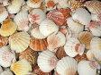 ピクテンローズ片面【約2.5〜5.0cm/100g】貝殻・貝・シェル・二枚貝