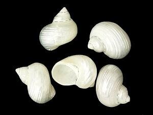 ★貝殻とヒトデの専門店です★マルサザエ磨き【約5cm±0.5cm/5個入】貝殻・貝・シェル・巻貝
