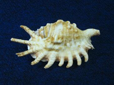 ムカデソデガイ【約12cm±1cm/1個】貝 貝殻 シェル 巻貝 角 アクセサリー 置物 コレクター 絵画 フォト