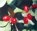 ミラクルフルーツ 鉢植え苗 1株