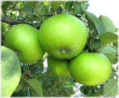 リンゴ ブラムリー JM系矮性台接木苗 1本(入荷予定:2015年10月頃)