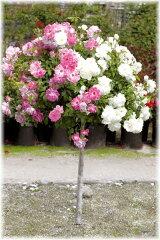 バラ アイスバーグ 2色スタンダード 高さ90cm内外 1本(入荷予定:2014年2月頃)