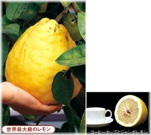 ジャンボレモン 接木苗 1本(入荷予定:2011年10月下旬頃)