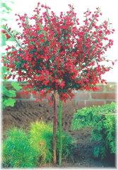 エニシダ ボスコープルビー スタンダードツリー  背丈60cm内外 1本(入荷予定:2013年3月...
