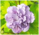 ムクゲ 紫玉 3.5号 1本