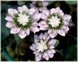 雪割草 鮮烈 ポット苗 1株(受注発注商品)※時期的に花終わりとなります。
