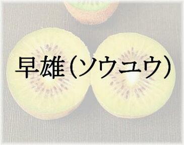 キウイフルーツ ソウユウ(赤肉系専用雄木) 接木苗 1本