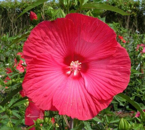 苗物, 花の苗物  PVP 3.5 1