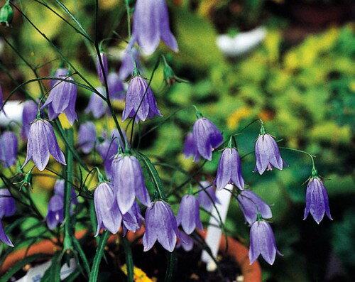 苗物, 花の苗物  1202110