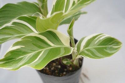 花・観葉植物, 鉢花  4 1