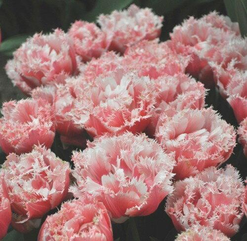 球根, 花の球根  520219