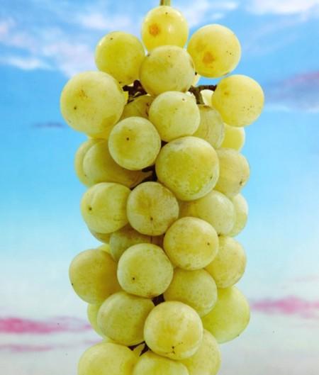 苗物, 果物の苗物  1202111