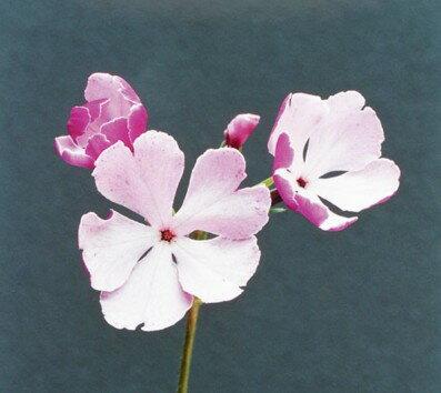 苗物, 花の苗物  1