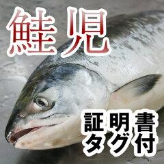 【送料無料】一度は食べて見たい!『幻の鮭』【証明書・タグ付】鮭児(けいじ)2.8kg