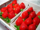 【送料無料】福岡県産 イチゴ あまおう とよのかの後継品種として誕生した九州を代表するブランド苺♪  ...