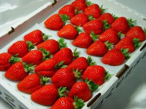 徳島県産『さちのか』 大粒30入り ツウを唸らせる本格苺!甘くて濃厚な味わい!緻密で繊細な果肉は食感の良さが抜群!!  ホワイトデーのプレゼントにおすすめ
