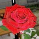 Rose-sato07_1