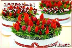 生きてるお花のケーキです。ロウソクの炎のようなお花をケーキ仕立てにしてみました。キャンド...