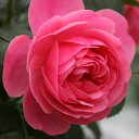 Rose-sato45_1