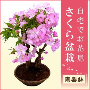 自宅でお花見ができるサクラの盆栽仕立てです。 お庭のない方も毎年楽しめます。桜盆栽●【2月...