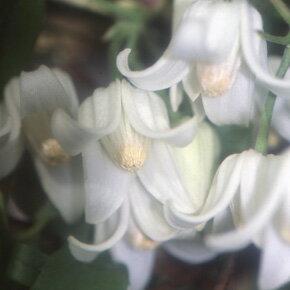 秋から生育・開花する冬咲駿河のクレマチス●ホワイトエンジェル4.5号苗【KMCO】