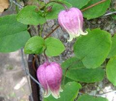 初夏~秋咲き、四季咲き性で開花期が長く育てやすい【クレマチス】【2年生苗】ビオルナ(実生)