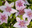 初夏〜秋咲き、中輪多花性で観賞期が長い四季咲き性【クレマチス】マルモリー
