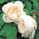 繊細な魅力を持つ形の美しい花です。中心の鮮やかなピンクは徐々に弱まり外側の花弁で最も薄く...