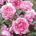 可愛らしい小型の花で、背丈の低いきれいに丸みを帯びた木立になります。完璧なロゼット花型、...