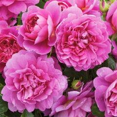 初期の花色はほとんど赤に近く、花の成熟とともにディープピンクになっていきます。春から霜の...