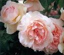 真のオールドローズの魅力を持つ優雅なバラ。シャローカップ咲きからしだいに反り返り、完璧なロゼット形になります。   イングリッシュローズ大苗【シャリファアスマ】【ピンク】●8号大鉢植え