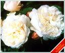 今人気のバラ!イングリッシュローズ【処分品・送料無料】●イングリッシュローズ大苗【フェア...
