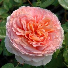 外観が良く非常に強壮なシュラブで、美しい大輪のディープカップ咲きの花をつけます。大輪咲き...